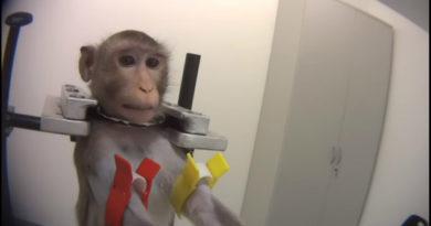 Filtran VIDEOS de simios torturados durante pruebas en laboratorio