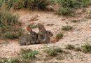 Los conejos entran en la lista de especies en peligro de extinción