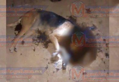 """Denuncian envenenamiento de perros en """"Zapotanito"""" municipio de SAMAO"""