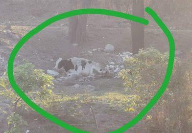 Vaca a punto de morir por negligencia de su dueño en Tepic